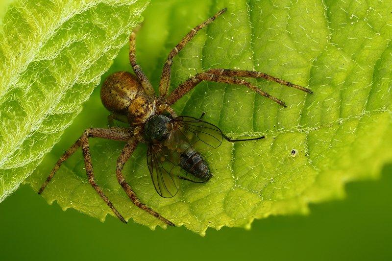 макро,природа,паук,цвет,коричневый,зеленый,животное,растение Можно и покушатьphoto preview