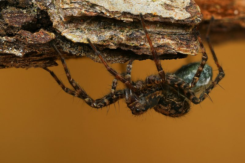 макро,природа,паук,цвет,коричневый,черный,животное С потомствомphoto preview