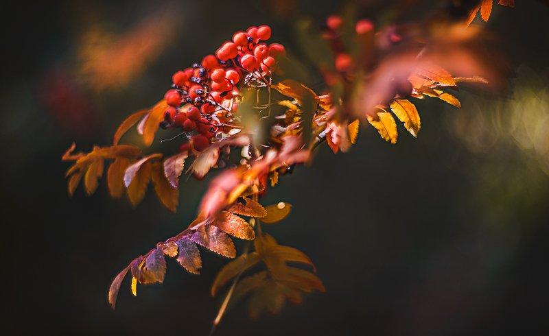 природа, макро, осень, ягоды, рябина, гелиос Еще раз про рябинуphoto preview