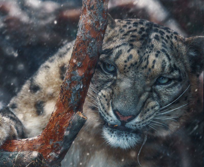 снежный, барс Романтики с большой дорогиphoto preview