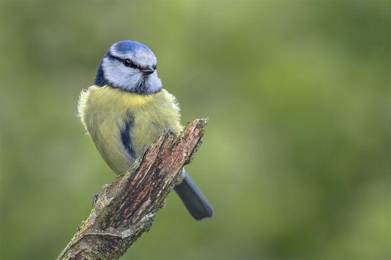 Обыкновенная лазоревка (BlueTit) фото превью