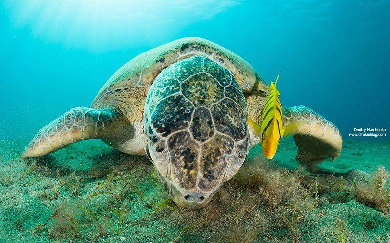 черепаха,морская черепаха,turtle Двоеphoto preview