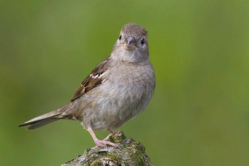 Домовый воробей (House sparrow) фото превью