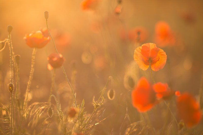 Morning on the poppy meadowphoto preview