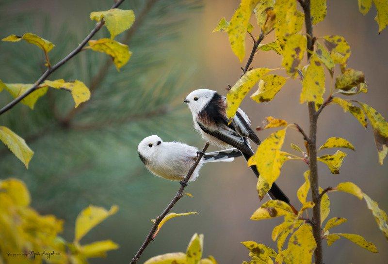 ополовники. длиннохвостые синицы, слива, золотая осень, лес в октябре Ополовники и дикая сливаphoto preview