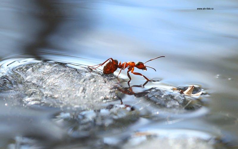 макро, природа, насекомые, муравей, осень, лужа, лед Первые заморозкиphoto preview