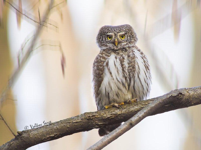 птицы, совы, воробьиный сычик, Glaucidium passerinum, Eurasian Pygmy Owl, Острый взглядphoto preview