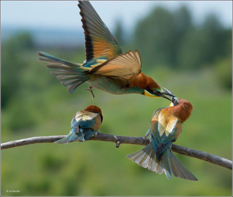 хвать,за,нос,птицы,щурки,весна,игры Хвать за нос )photo preview