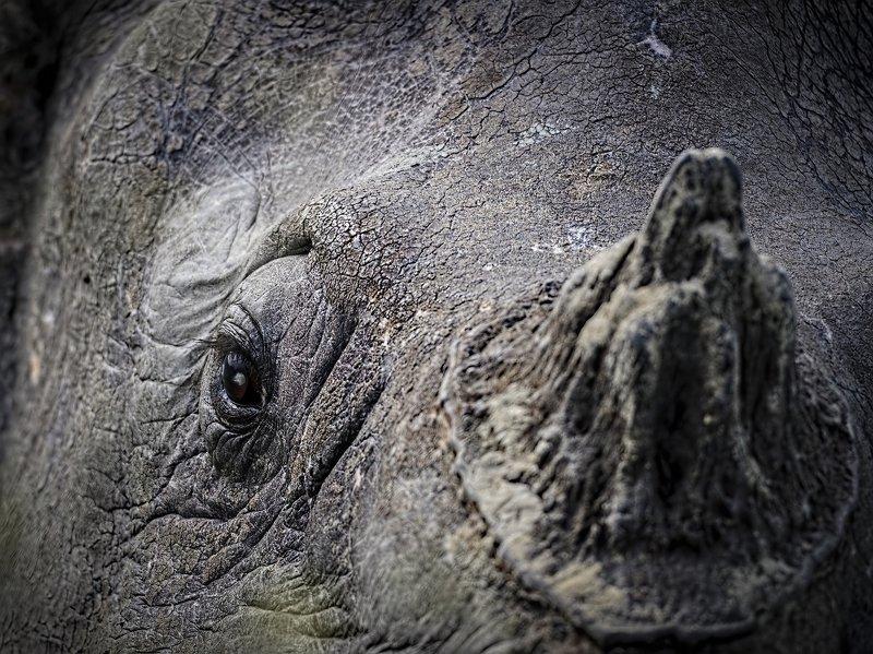 rhino, endangered, unicorn, indian Rhinoceros The Aged Unicornphoto preview