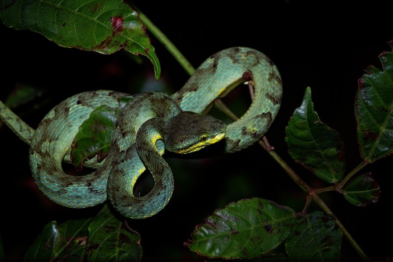 snake, viper, pit, viper, wild, jungle, night, wildlife Bamboo Pit Viperphoto preview