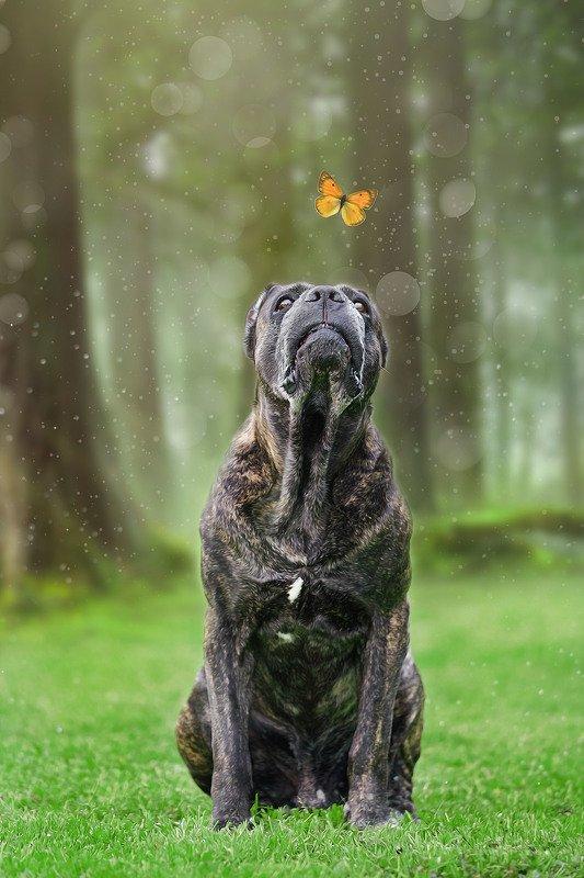 породы собак, кане корсо, итальянский кане корсо, собаки Ловлю!photo preview