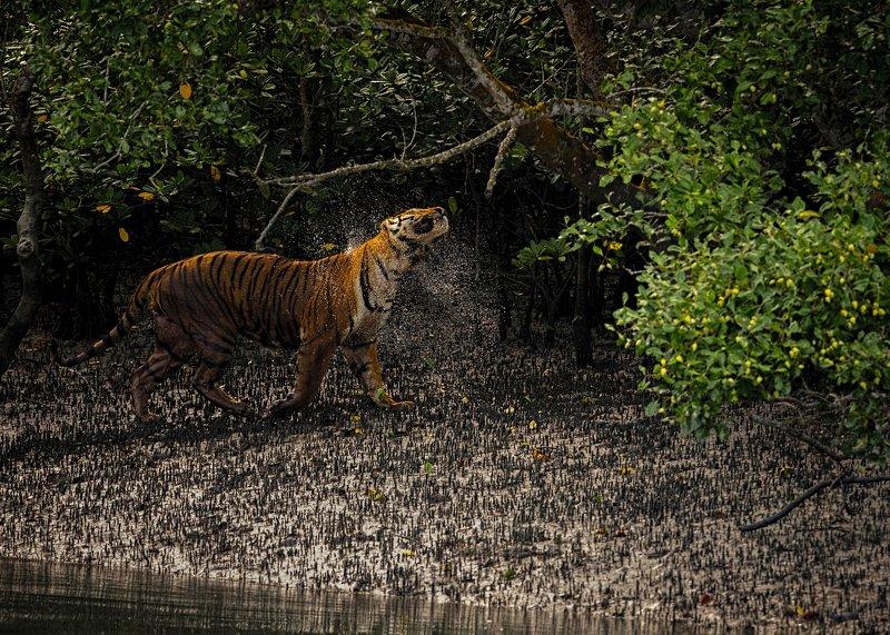 Bengal Tiger, sunderbans, mangrove, water shake The Swamp Kingphoto preview