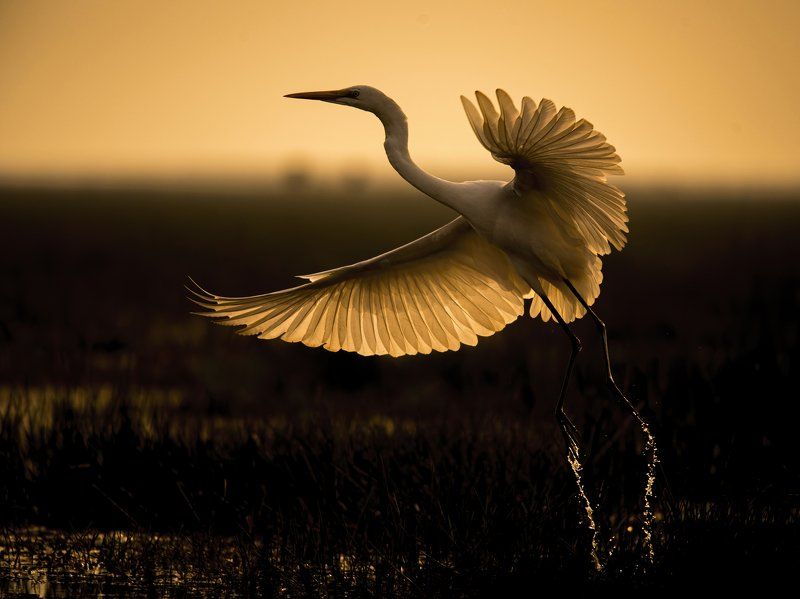 silhouette, great egret, sunset, manglajodi Wings of Firephoto preview