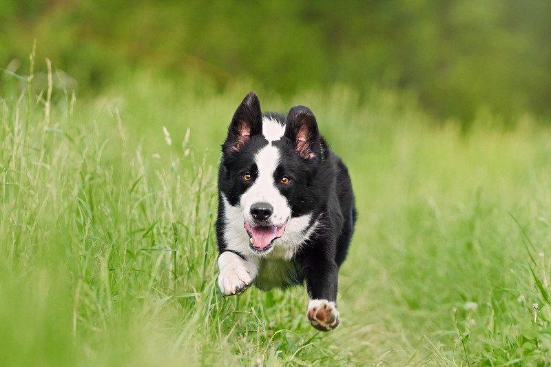 бордер колли, породы собак, собаки, собаки в движении Jump!photo preview