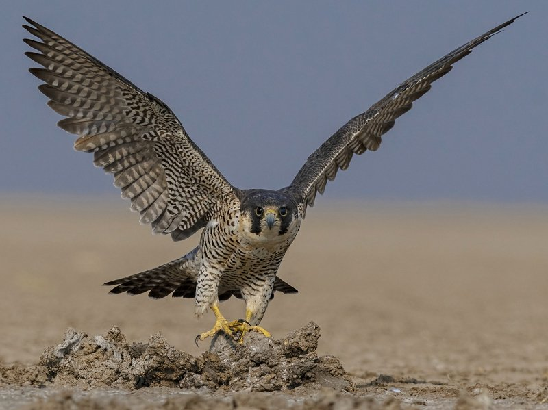peregrine falcon, lrk, rann of kutch, raptor, take off The Fastest Creature of this Planet!photo preview