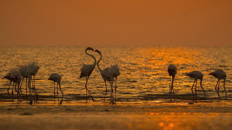 Greater Flamingo, sunset, wedding, greater rann of kutch A Grand Flamingo Weddingphoto preview