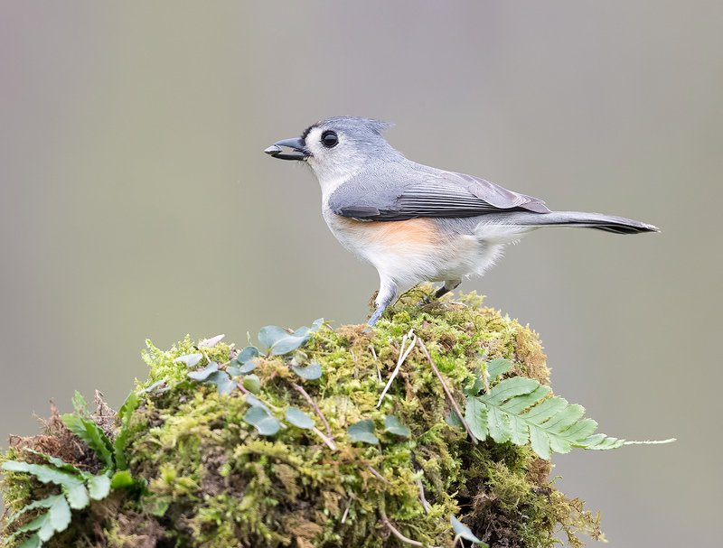 Tufted Titmouse -Острохохлая синица