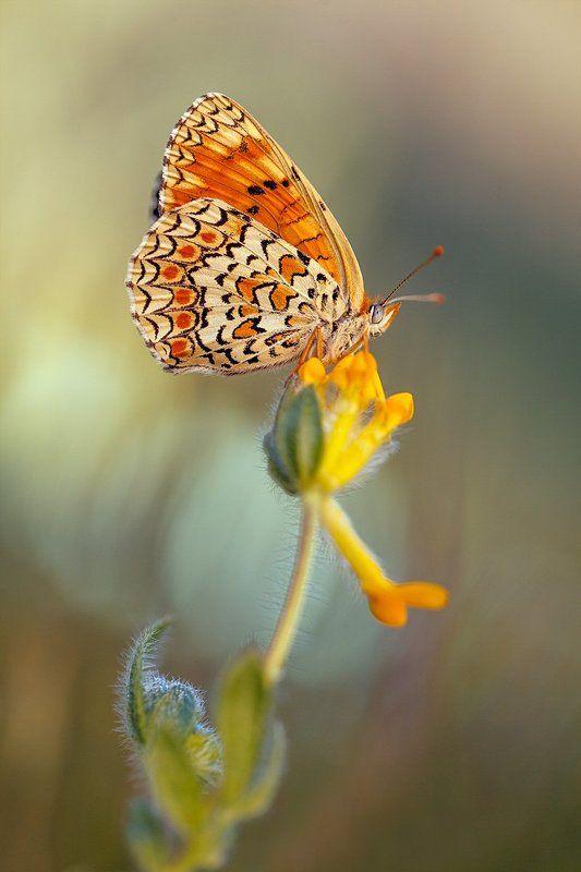 butterflies, lepidoptera, canon, 100mm l is f2.8, 600d, 450d, macro Butterflies 2013photo preview