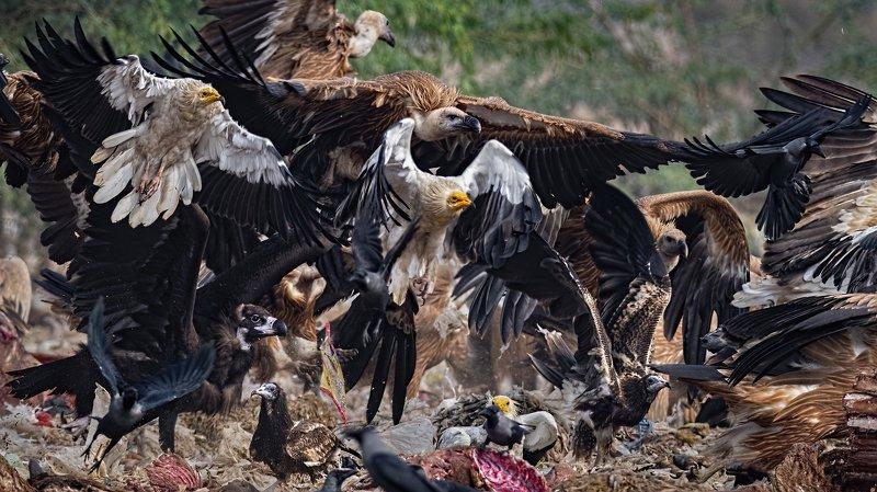 Cinereous Vulture, Egyptian Vultures, Griffon Vultures, House Crow, scavengers, jorbeer, bikaneer, mixed flock The scAvengersphoto preview