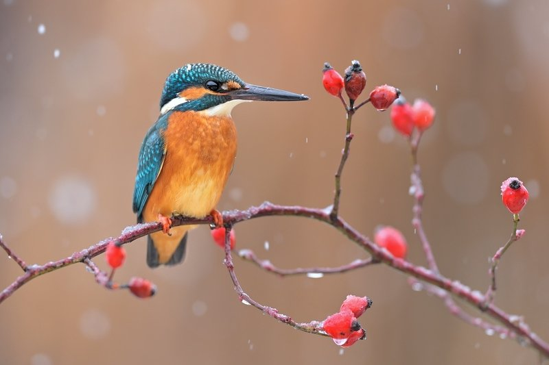 wildlife, alcedo atthis, kingfisher, nature Kingfisherphoto preview