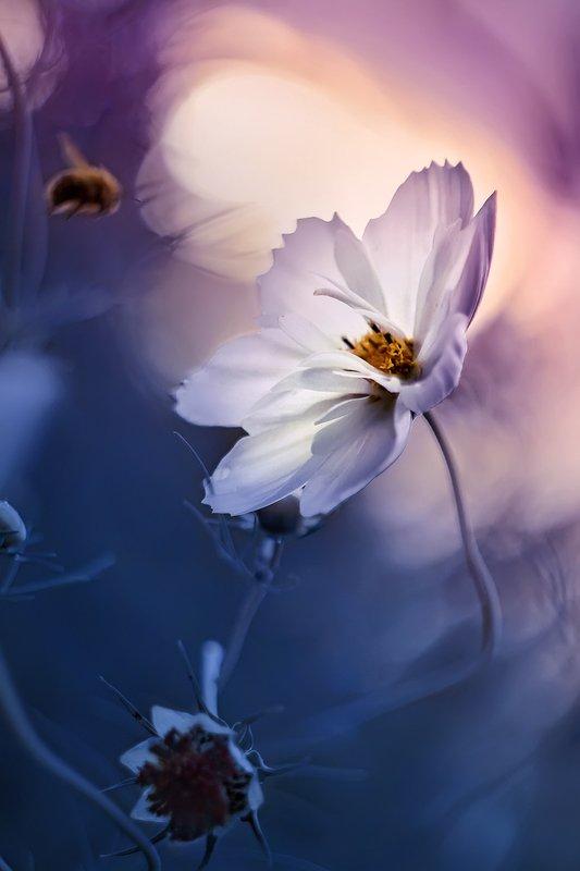 wild flower, cosmos, blossom, bloom, pollen, purple flower, pink flower, purple, pink, flower,  bee, sunset, white flower, bumblebee, summer, fly, dark blue, evening, macro, bokeh, dream, fantasy На закатеphoto preview