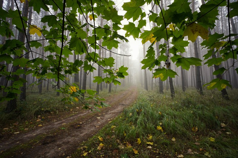под кленом path road magic mist foggy morning trees forest wood nature naturallight tree green autumn las под кленомphoto preview