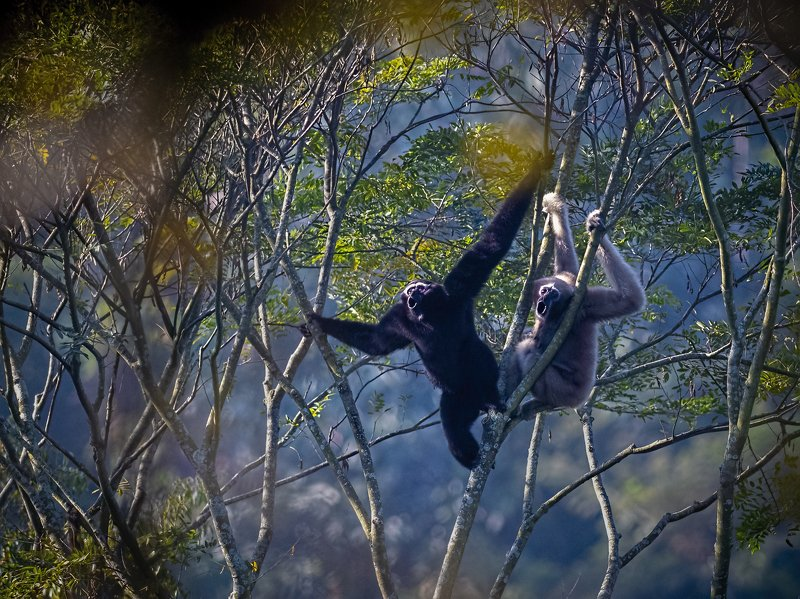 The Gibbon Song!