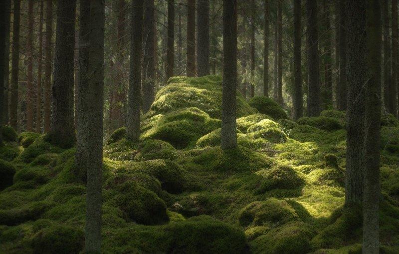 ленинградская область, северный лес, зелёный лес, лето, папоротник, заросли, карельский перешеек, лес В лесах Ленинградской областиphoto preview
