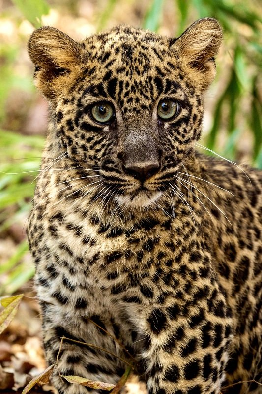 #leopard #wild #cub #baby #wildlife #nature Leopard Cubphoto preview