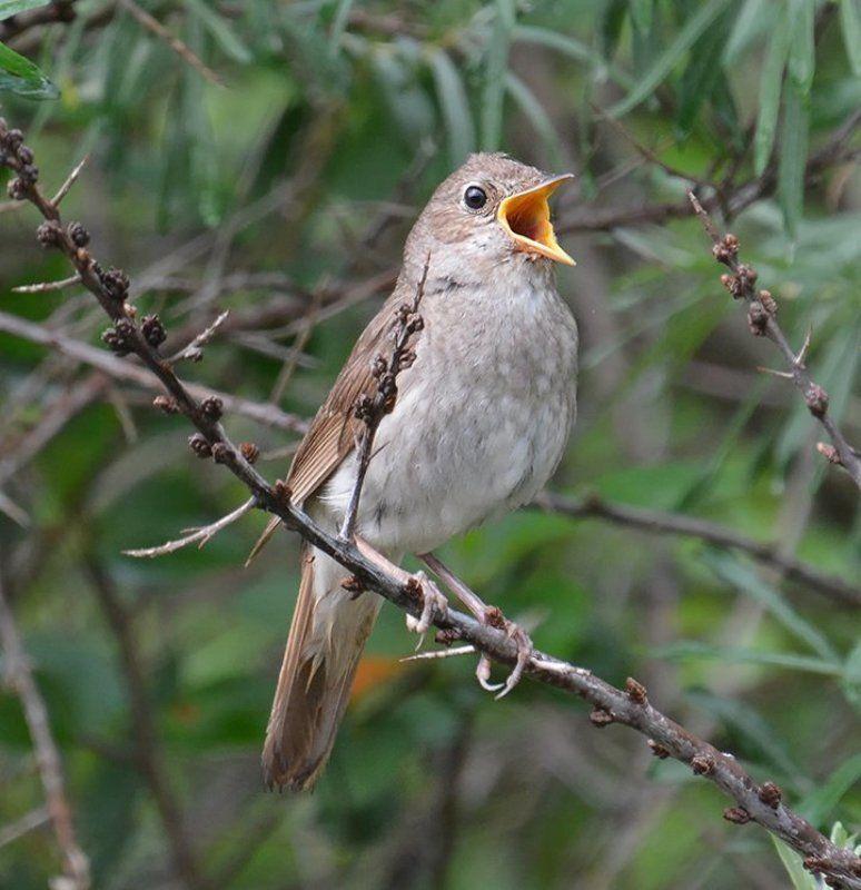 Соловей Когда поют соловьи...photo preview
