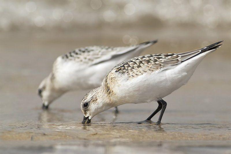 Песчанка · Calidris alba фото превью