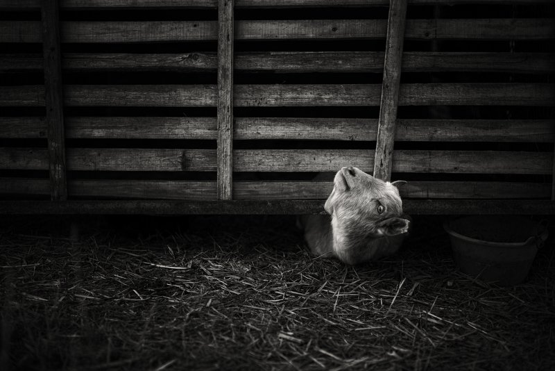 black and white , animal photo preview