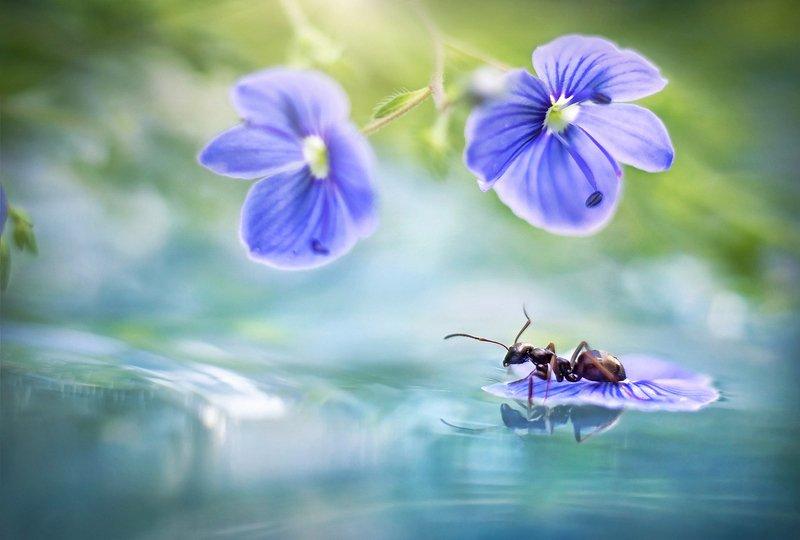 муравей, макро, вода, цветы, весна, пруд, отражение, насекомое На маленьком плоту)photo preview