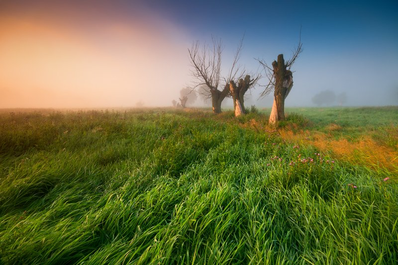zulawy willow tree fog landscape Willowphoto preview
