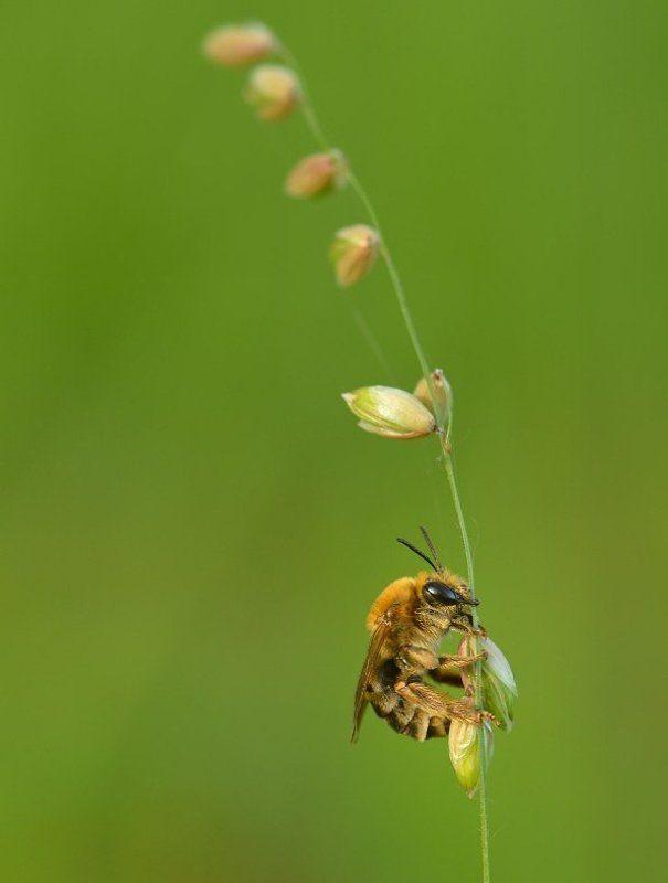 Сонная пчёлкаphoto preview