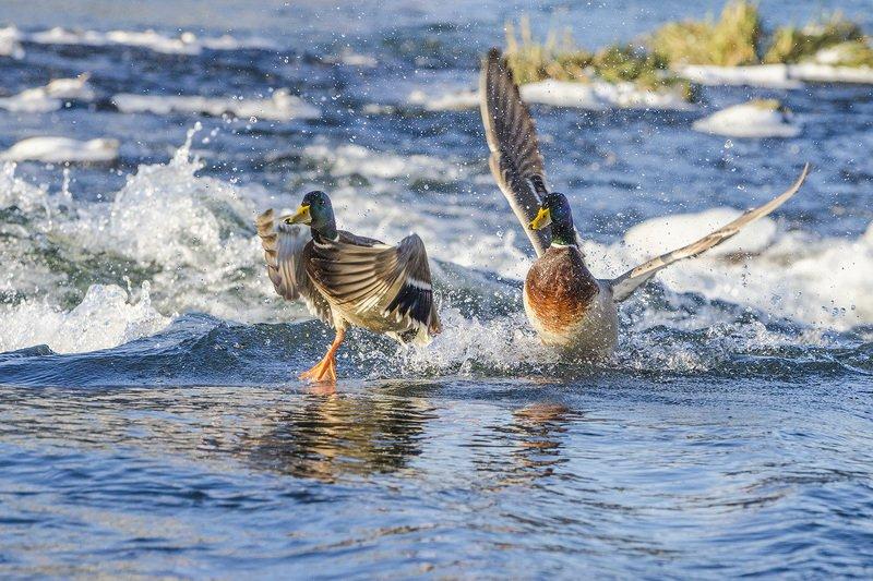 птицы, утки, кряквы, селезни, наперегонки Неперегонкиphoto preview