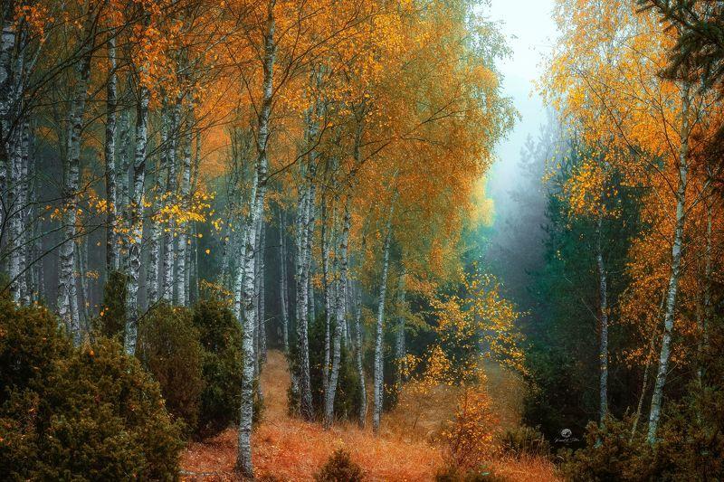 jesień, brzozy, las, atmosfera, kolory jesieni, krajobraz, mgła, światło, drzewa, poranek, nikon The beauty of autumn colorsphoto preview