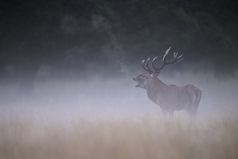red deer, cervus elaphus, nature, king Foggy morningphoto preview