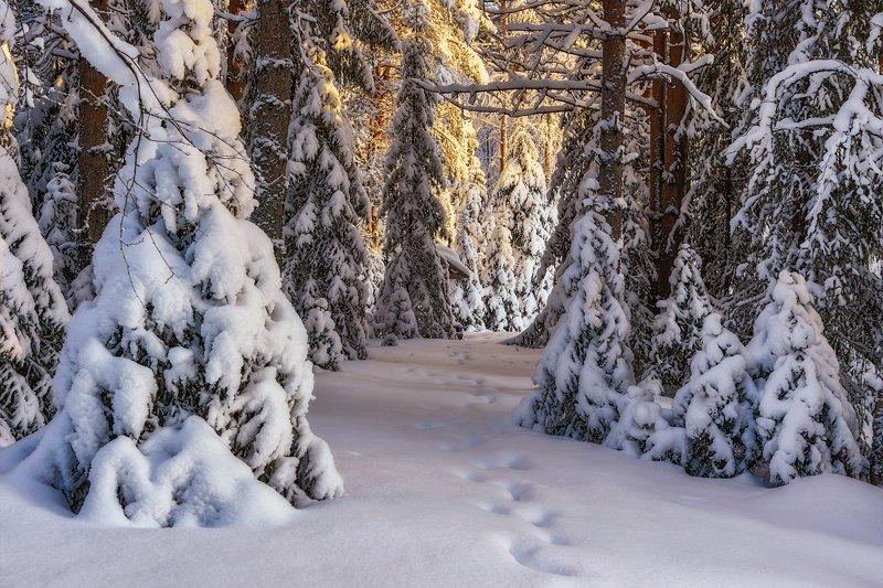 зима, лес, деревья, елки, ветки, снег, сугробы, солнце, следы Зимний лес, с утра мороз...photo preview