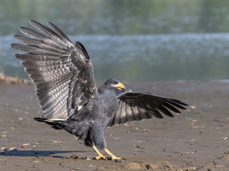 Common Black Hawkphoto preview
