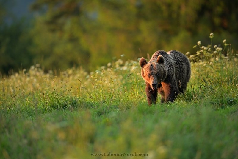 wildlife, bear, sunset, nature, ursus arctos Summer memoriesphoto preview