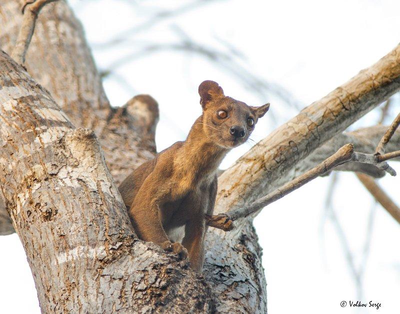 мадагаскар, живая природа, фосса, Cryptoprocta ferox, fossa, Eupleridae, madagascar, фотоохота, wildlife Гроза Мадагаскараphoto preview