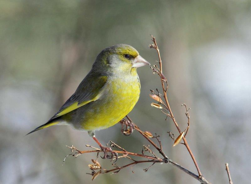 зеленушка, птица Зеленушка и чижиphoto preview