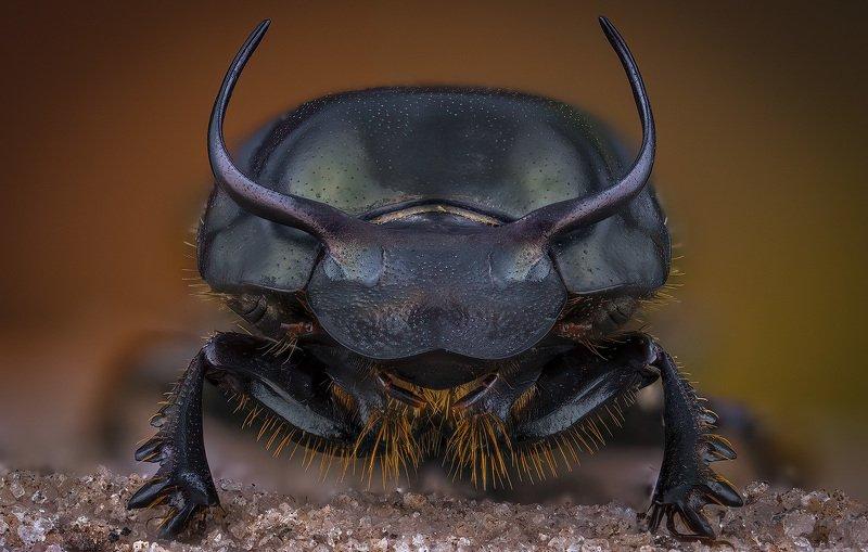 coleoptera, scarabaeidae, onthophagus taurus Onthophagus taurusphoto preview
