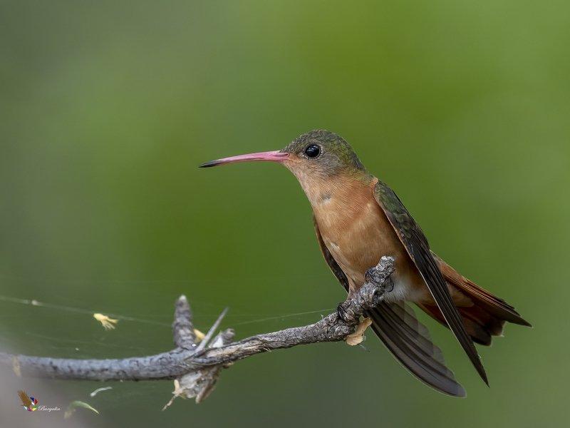 Cinnamon Hummingbirdphoto preview