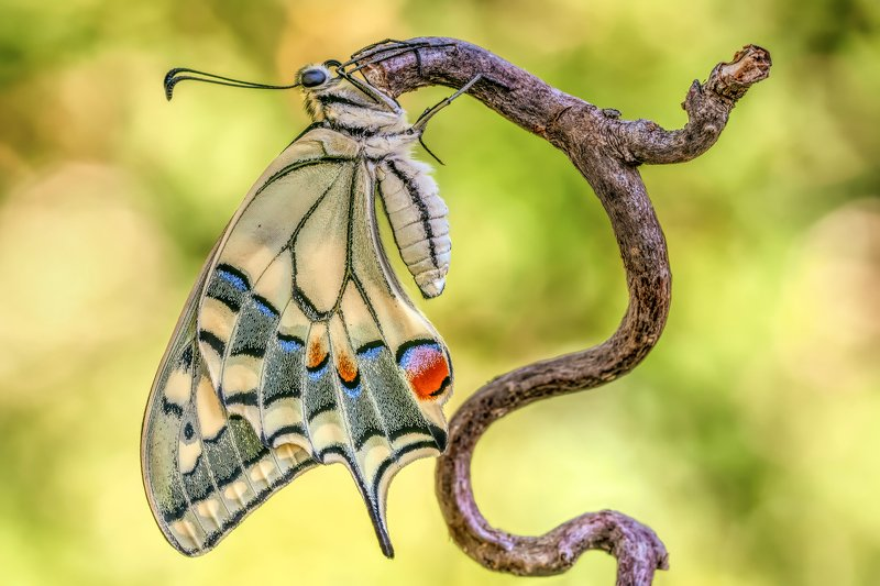#butterfly, #papilio machaon, #insect, #nature, #swallowtail Swallowtailphoto preview