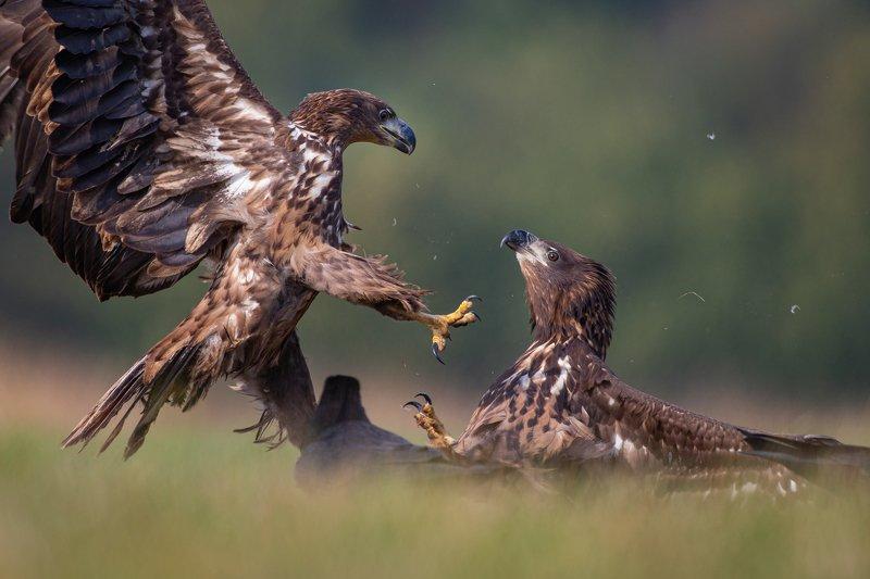 eagle, animal, wild Eagle fightphoto preview