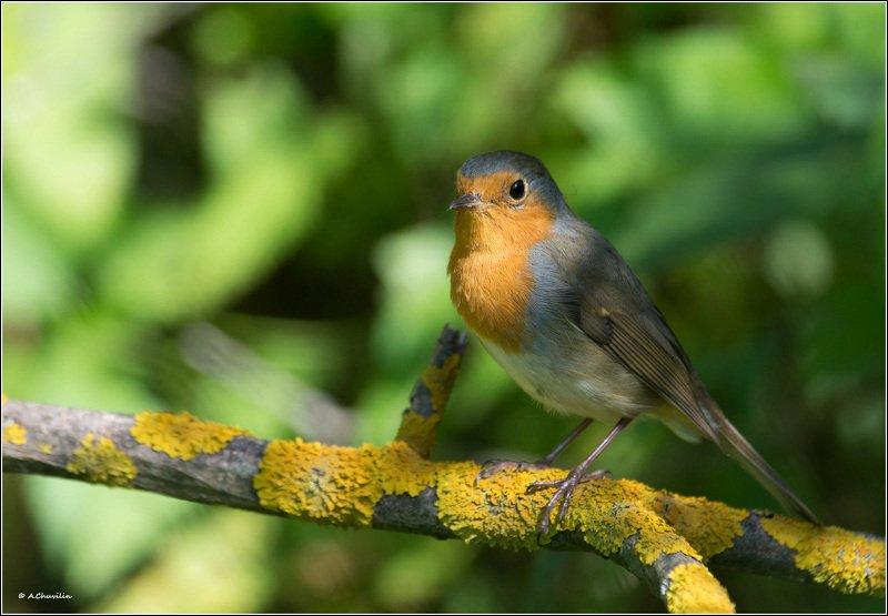 птица,зарянка,лето,тень В тенёчкеphoto preview