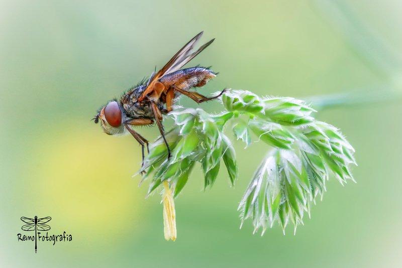 Paśnica tarczówkowa - Ectophasia crassipennis.photo preview
