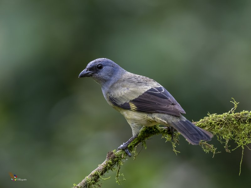 Yellow-winged Tanagerphoto preview